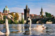 В Праге во время экскурсии можно покормить лебедей